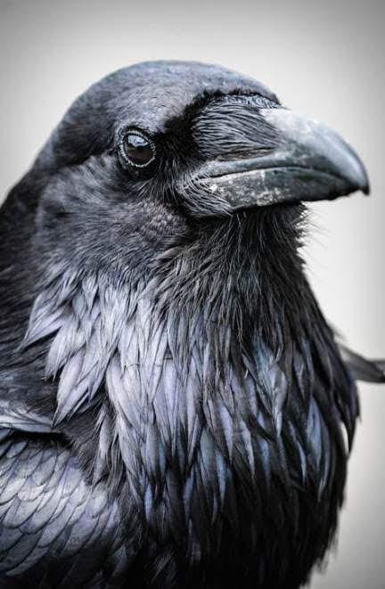 crow-study